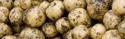 Сибирский картофель оптом в любой регион