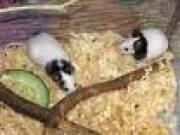 Продам очаровательных японских мышек